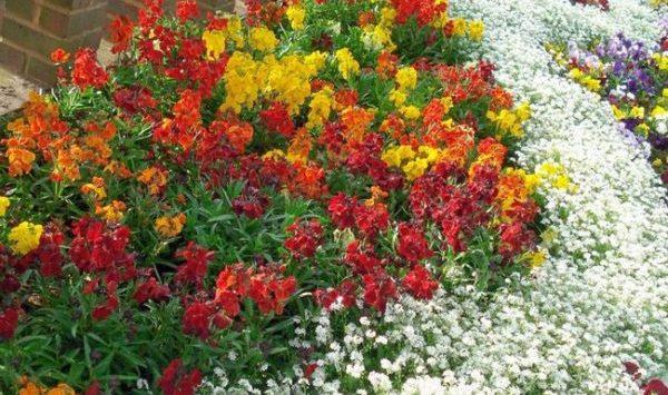 Среднерослые цветы являются наиболее оптимальным вариантом для дачи