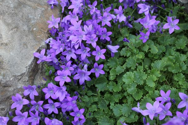 Колокольчик - многолетнее дикорастущее растение, которое пользуется спросом у цветоводов