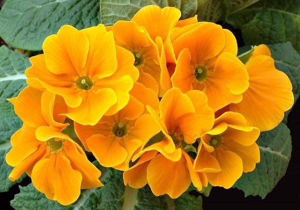 Примула желтого цвета для сада и садового участка