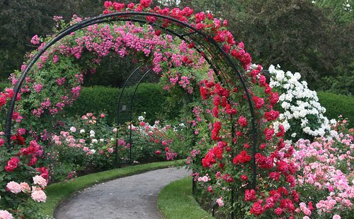 Как выглядит розарий на арке