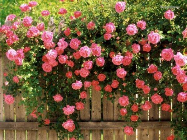 Плетистая роза - очень красивое морозоустойчивое растение