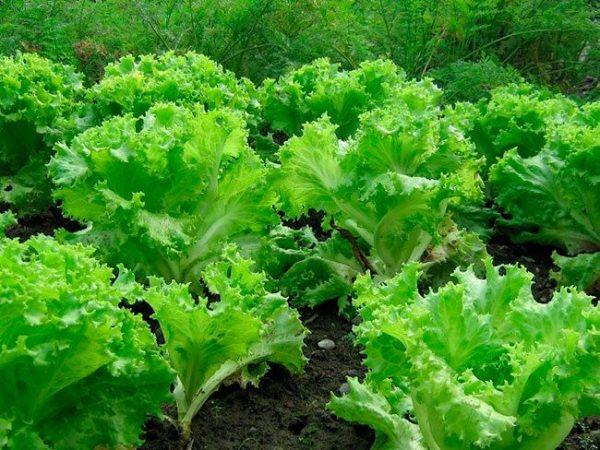 Латук  - самый известный и широко используемый сорт салата