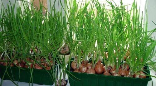 Лучше всего рассаживать лук рассадой