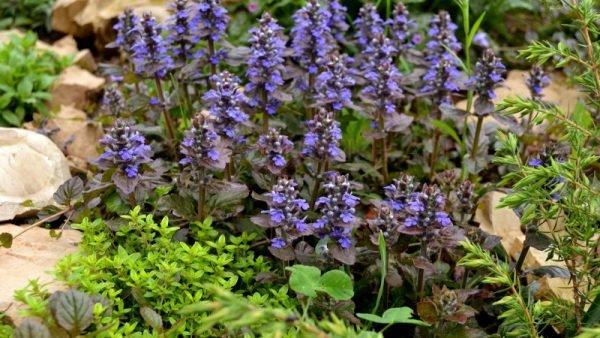 Огромное достоинство данных декоративных растений - неприхотливость
