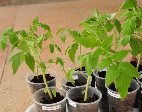 Дрожжи помогают укрепить растения и повысить их выносливость