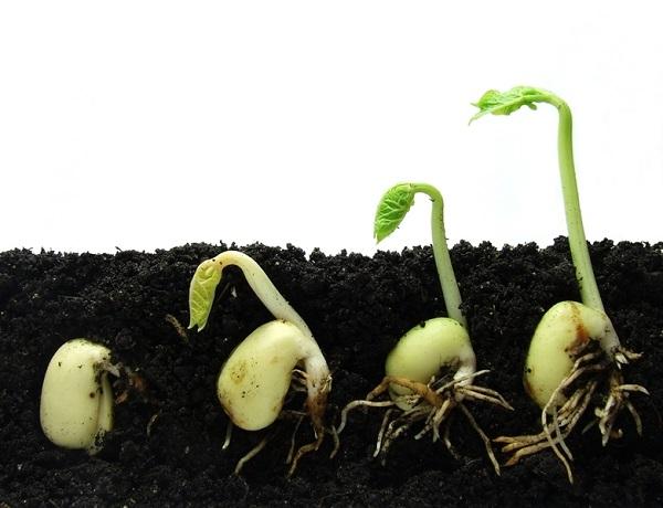 Процесс проращивания семян баклажанов