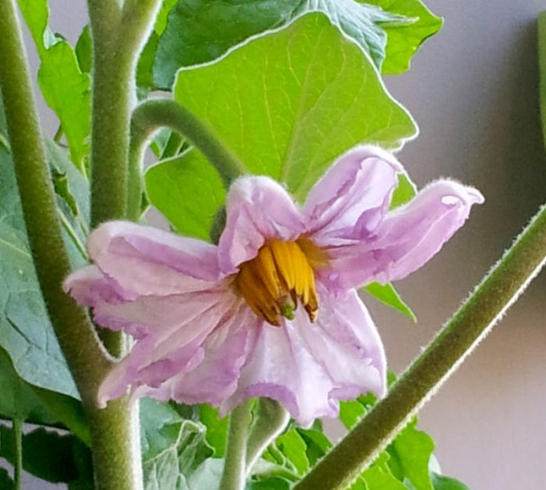 Цветок баклажана на дачном участке