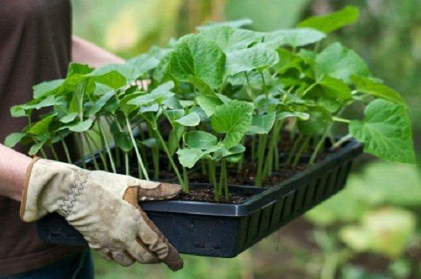 Кабачки можно сажать семенами и черенками