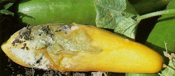 Почему желтеют листья у кабачков в открытом грунте и что делать