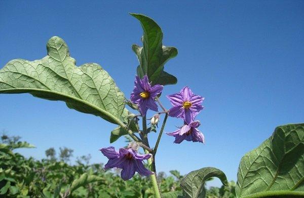 Цветение баклажана на огороде
