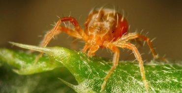 Паутинный клещ, сидящий на листке
