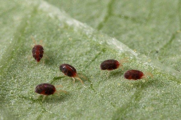 Клещи на листке баклажана