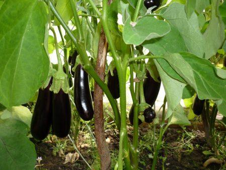 Выращивание баклажан в парнике