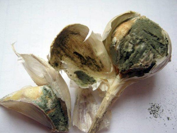 Зеленая плесневидная гниль покрыла чесночную луковицу