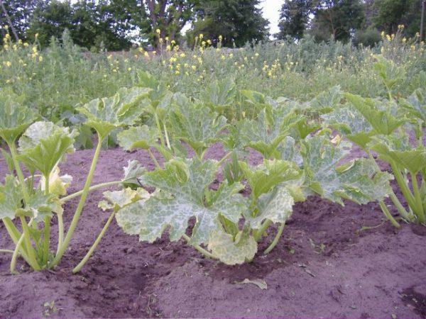 Опасность состоит в том, что заболевание может поразить весь огородный участок