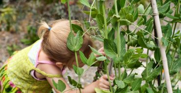 Зеленый горошек с грядки – любимое лакомство детей