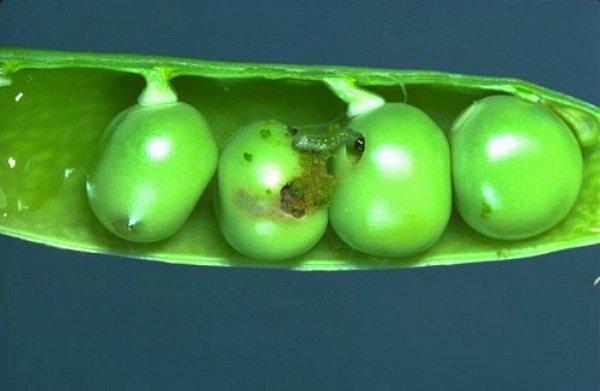 Гусеница плодожерки поедает горошины изнутри