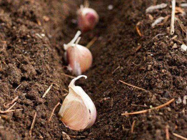 Посев грядки ярового чеснока