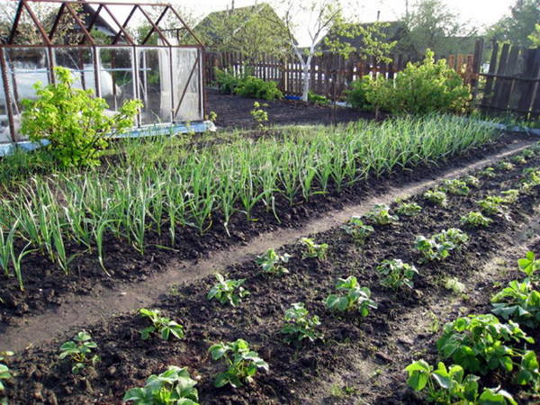 Полезное соседство чесночных грядок с ягодными кустарниками