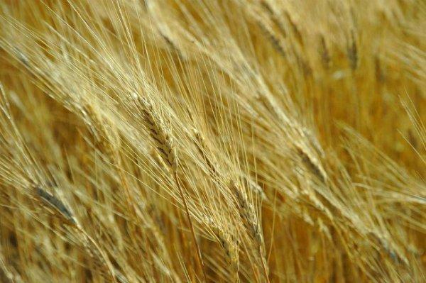 Высаживание пшеницы в качестве сидерата