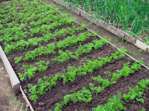 Соседство моркови и чеснока на огороде