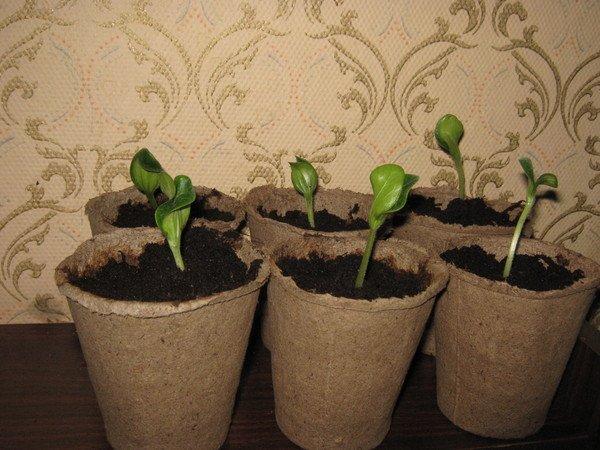 После рассады растение быстрее приживается