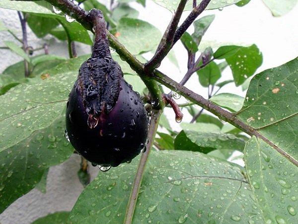 Спелый баклажан, выращенный в теплице