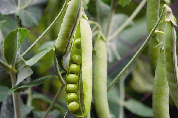Бобы молодого зеленого горошка