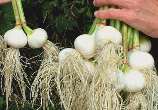 Выкапывание созревших чесночных луковиц