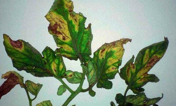 Почему листья баклажана увядают и сохнут