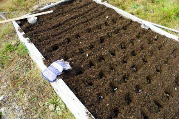 Грядка для посева чеснока