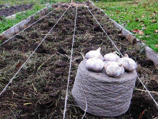 Посев чеснока в грунт на подмосковной даче