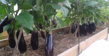 Выращивание баклажанов на своем участке