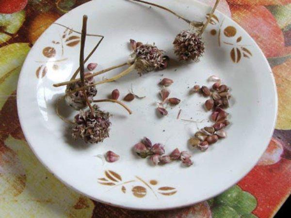 Посадочный материал чеснока (воздушные бульбочки)