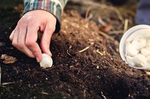 Подзимний посев чеснока на Урале