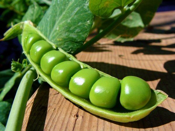 Раскрытый плод зеленого горошка