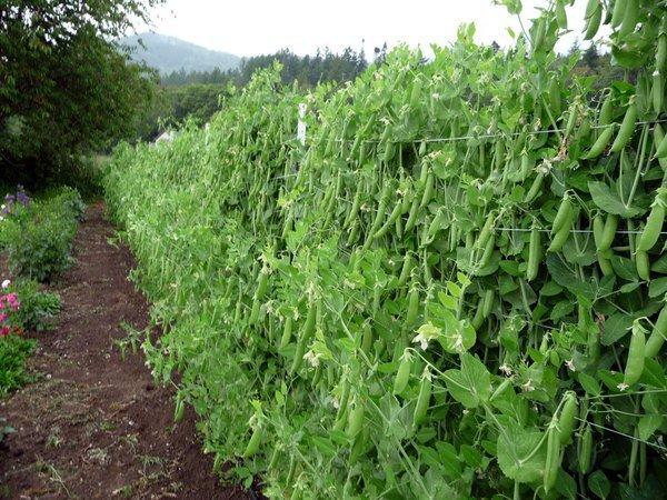 Выращивание сахарного гороха сорта Супер Шугар