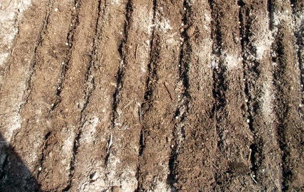 Агротехника гороха подразумевает ленточный посев семян