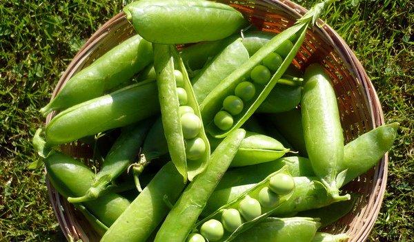 Зеленый горошек сорта Виола