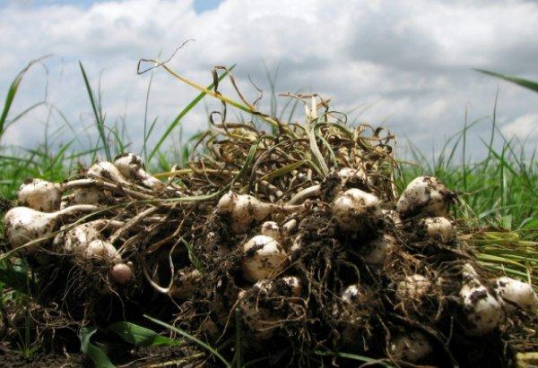 Выкапывание урожая чеснока на земельном участке