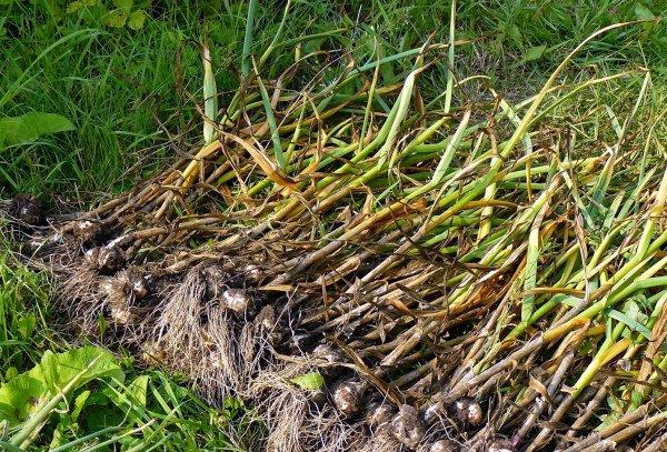 Урожай чеснока сушится на грядке