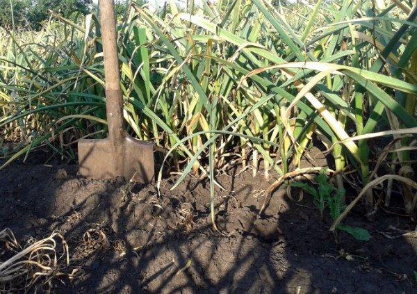 Хороший урожай чеснок дает на суглинистой слабокислой почве