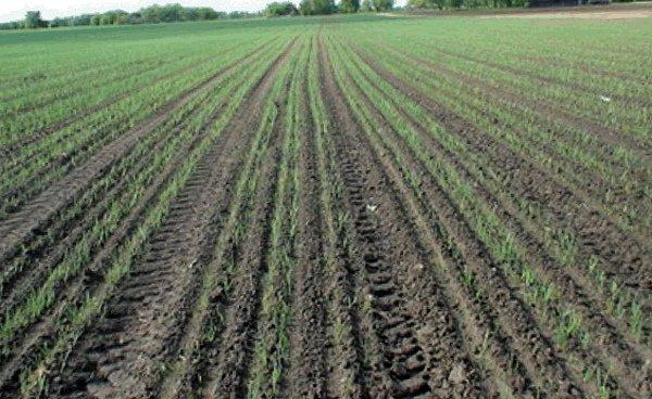 Всходы посевов озимого чеснока на поле