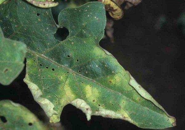 Церкоспорозная пятнистость на листьях баклажана