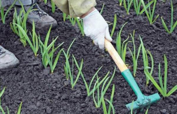 Выращивание чеснока по все правилам на участке