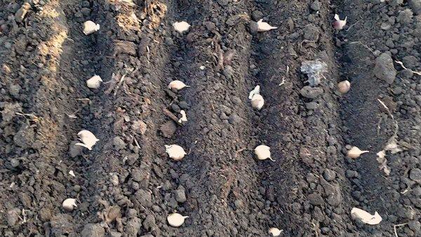 Посев чеснока в промышленных масштабах