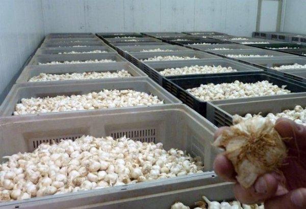 Оптовая реализация товарного озимого чеснока