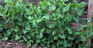 Выращивание зеленого гороха на опорах