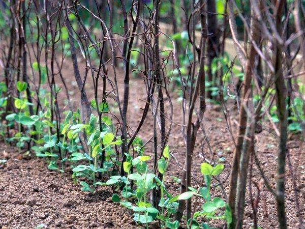 Выращивание гороха на подпорках