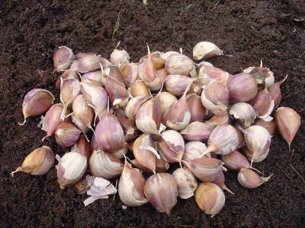 Когда садить озимый чеснок в Сибири, в какие сроки и числа осени, как выбрать место и подготовить почву, а также все нюансы выращивания яровых сортов